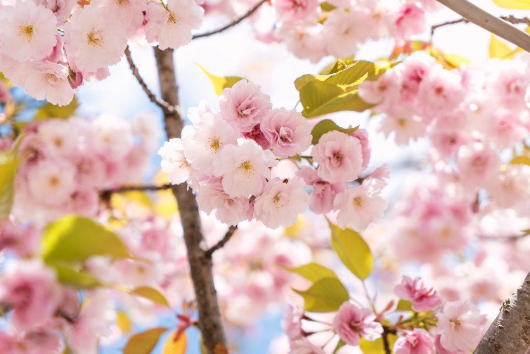 David Emrich Unsplash Cerisier du Japon Rose pour portrait chinois La Geek En Rose